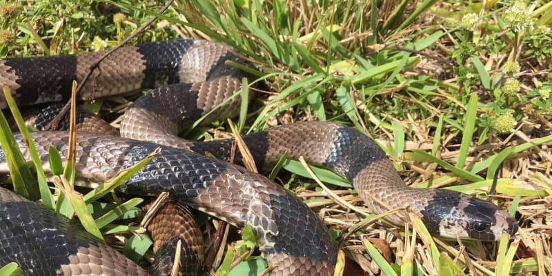 New exotic invasive snake is captured in Everglades National Park. It's likely a released pet   Miami Herald