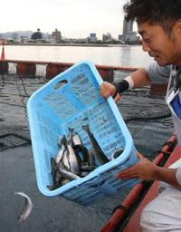 須磨海水浴場沖のいけすにニジマスを放す神戸市漁協の組合員=6日午前(撮影・辰巳直之)