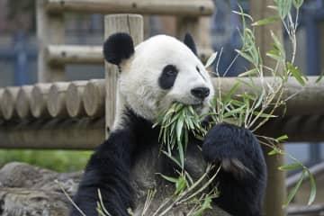 ジャイアントパンダの雄リーリー=2月25日、東京・上野動物園(東京動物園協会提供)