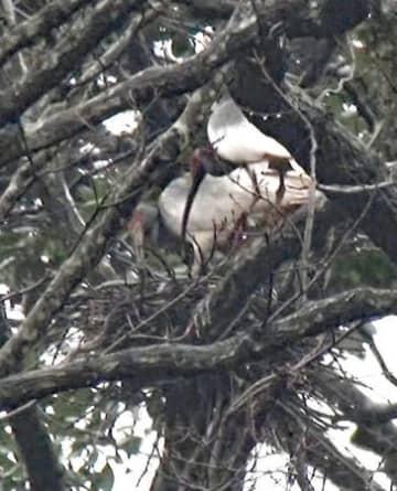 野生下で今季初めて営巣が確認されたトキのペア=7日、佐渡市(環境省提供)