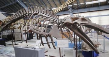 新種と判明した「ヌマタナガスクジラ」の全身骨格のレプリカ=11日、北海道沼田町