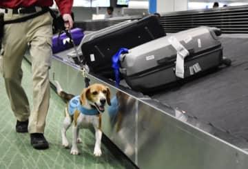 手荷物を受け取る場所を歩く探知犬「ニール」=14日午後、羽田空港