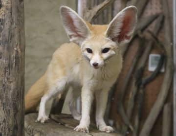 大きな耳を持つフェネック。オスのククはイケメン!=長崎県西海市西彼町、長崎バイオパーク