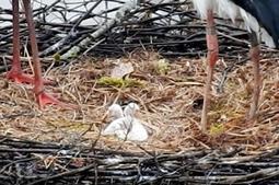 ふ化したコウノトリのひな=豊岡市祥雲寺(県立コウノトリの郷公園提供)