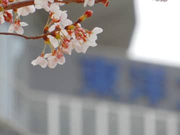 東洋大学白山キャンパスを背に咲く桜。筆者撮影、28日東京都文京区の白山公園で。
