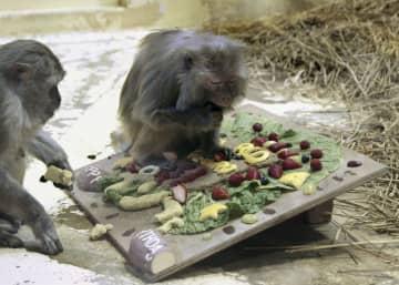 プレゼントの特製ケーキを贈られた京都市動物園のアカゲザル「イソコ」(右)=13日