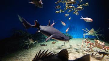 展示が始まったヒゲツノザメ(アクアワールド県大洗水族館提供)
