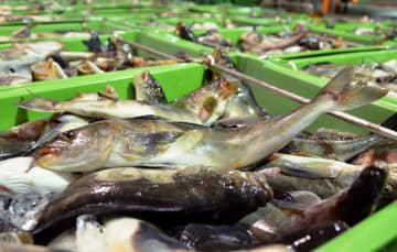 北海道・稚内港に水揚げされたホッケ