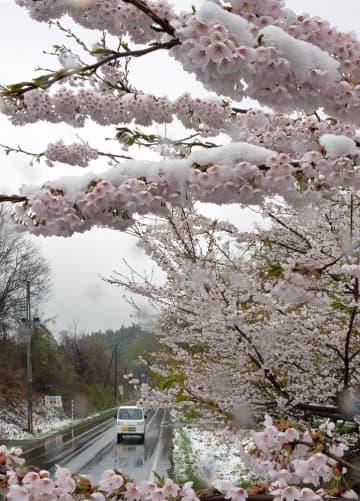 咲き誇る桜の花にうっすらと積もった春の雪=27日午前9時50分、五戸町倉石
