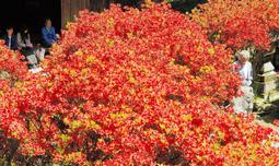 境内を真っ赤に染めるキリシマツツジ=一の宮神社