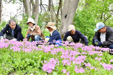 サクラソウの開花状況を確認し周辺の草取りをする赤川愛し隊のメンバー=鶴岡市・赤川河川敷