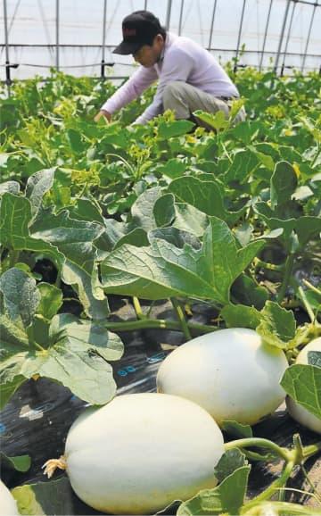 クールボジャメロンを収穫する宍戸組合長