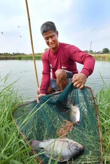 タイ中部ナコンパトム県で養殖したテラピアを見るプリチャー・タブティムさん=4月(共同)