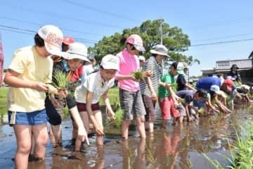 横一列になり、丁寧に古代米の苗を手植えする小学生ら