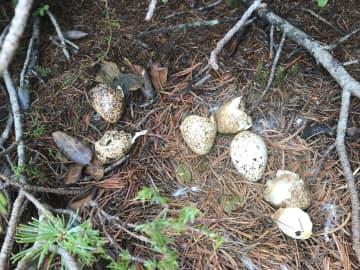 長野県の中央アルプスでふ化した5羽のニホンライチョウの卵の殻。1羽はふ化しなかった=1日午後(環境省提供)