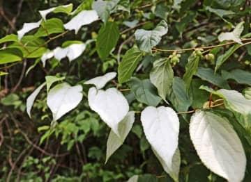 一部の葉が白くなったマタタビ(和歌山県田辺市下川下で)