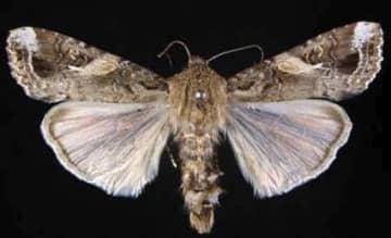 ツマジロクサヨトウの成虫の雄(植物防疫所ホームページより)