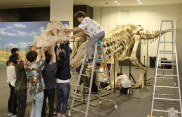 タルボサウルスの全身骨格標本を組み立てる岡山理科大の学生ら