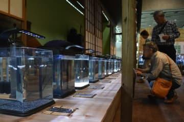 100品種のメダカが涼しげに展示されている企画展