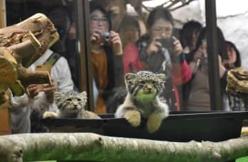 公開が始まったマヌルネコの雄(右)と雌の赤ちゃん=13日午前10時20分、那須町大島