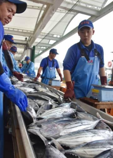 大船渡市魚市場に今季初水揚げされたカツオ。例年より1カ月半以上遅れての登場となった=大船渡市大船渡町
