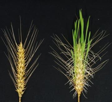 遺伝子を改変したコムギ(左)と、同じ条件で栽培した通常のコムギ。通常のコムギは発芽している=岡山大、農研機構提供
