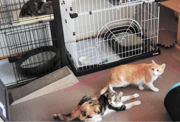ワクチン接種や不妊・去勢手術を受け、屋内で生活する猫=仙台市宮城野区