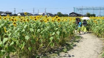一面に咲き誇るヒマワリ畑の中を歩く来場者=佐賀市のクリーク公園