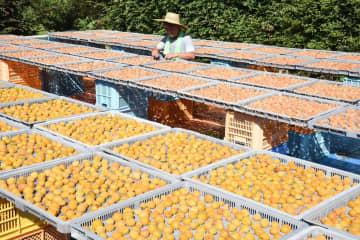 土用干しを行う梅農家。手前の黄色い梅は1日目のもの=小田原市曽我別所