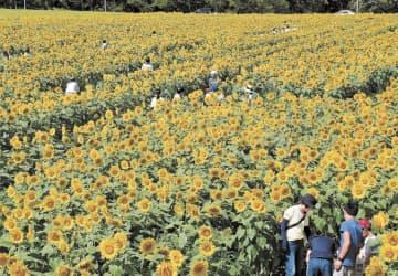 黄色のじゅうたんのように咲き誇るヒマワリ=14日