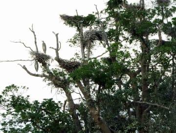 営巣するアオサギの数が減りつつある古木。巣立ちを待ち、京都府丹後土木事務所が巣の除却や剪定を始める(京都府宮津市鶴賀)