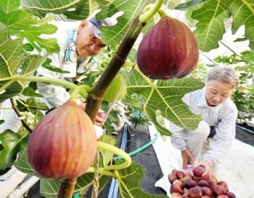 日差しを浴びて赤紫に色づき、収穫のピークを迎えたイチジク=8月19日、福井県福井市八幡町
