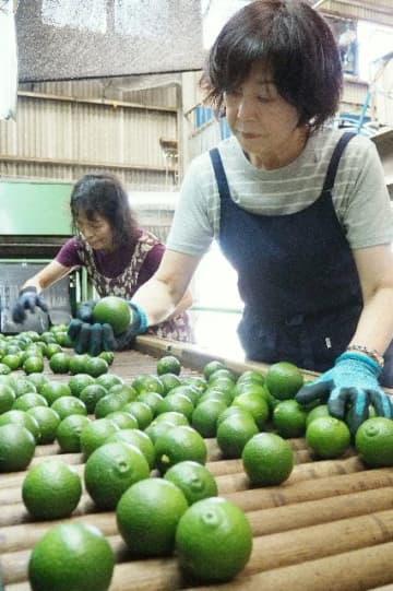 カボスの品質を確認するオペレーターの女性=竹田市飛田川