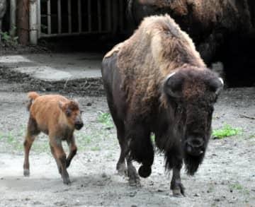 母親のアメリのそばを元気いっぱいに歩くアメリカバイソンの赤ちゃん