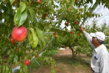 赤く染まり収穫期を迎えたネクタリン