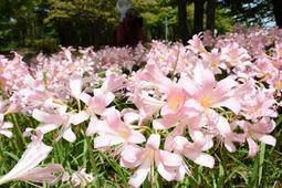 かれんな花を咲かせたナツズイセン=有馬富士公園