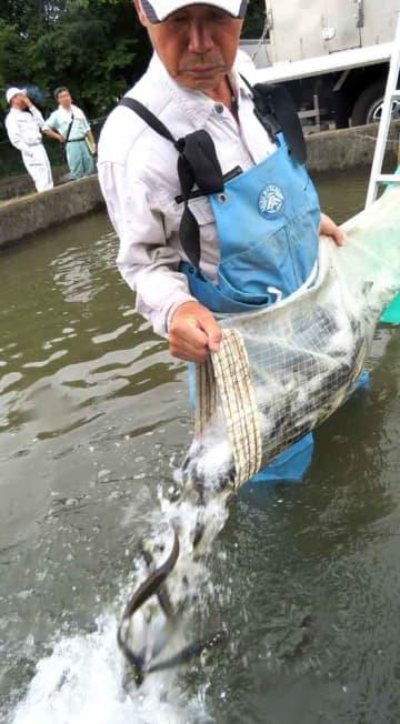 勢いよく放流されるアユの親魚(滋賀県高島市安曇川町北船木・安曇川人工河川)
