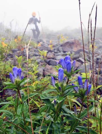 濃霧に包まれた登山道脇で花を付けるリンドウ=30日午前、那須町湯本