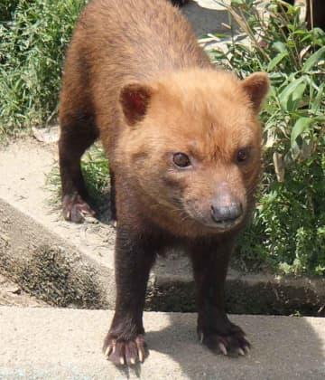繁殖のため埼玉こども動物自然公園に貸し出されるヤブイヌのミコト=京都市動物園提供