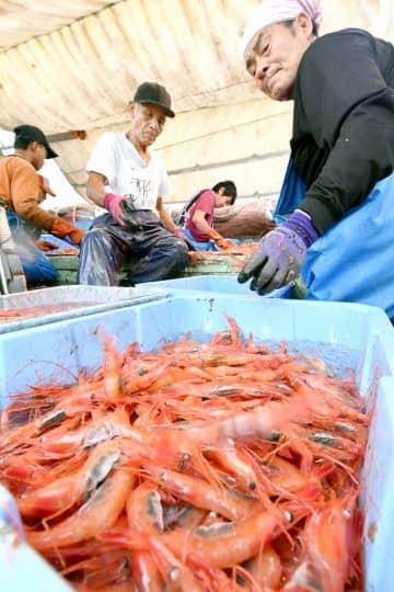 底引き網漁が解禁となり、帰港し船上で素早く選別される甘エビ=9月1日、福井県坂井市の三国漁港