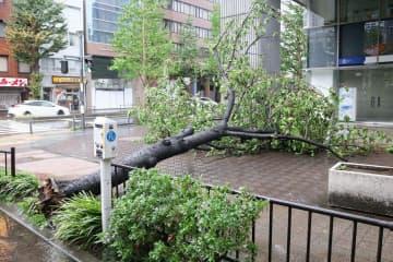 台風15号の影響で道をふさいだ倒木=午前6時25分、横浜市本町2丁目