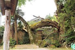 大枝が折れて民家の車庫を直撃したムクノキの大木=宍粟市波賀町日見谷