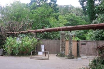 正門入り口の門柱に倒れ掛かったヒノキ=明月院