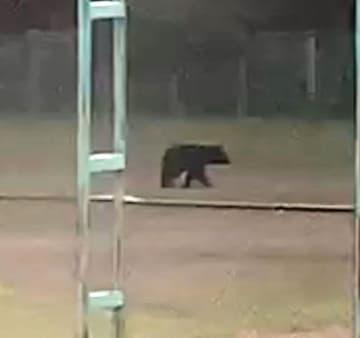 むつ中学校のグラウンドに現れたクマ=15日午後5時ごろ(読者提供の動画より)