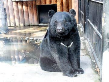 13年前に寄居町で保護されたツキノワグマの「ヨリー」=大宮公園小動物園(提供写真)