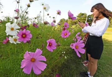 涼しい風が吹く高原の花畑で見ごろを迎えているコスモス=20日午後、青森市のモヤヒルズ
