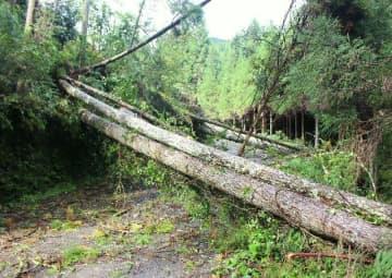 強風で倒れ、県道をふさいだ杉=23日午前9時24分、日田市小山