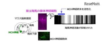 視床下部のMCH神経と海馬における神経活動の抑制