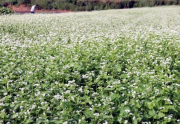 畑一面に広がるソバの花
