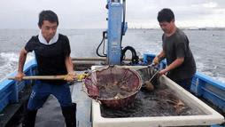 卵持ちのタコを放流する漁師=明石沖(東播磨底曳網漁業協議会提供)